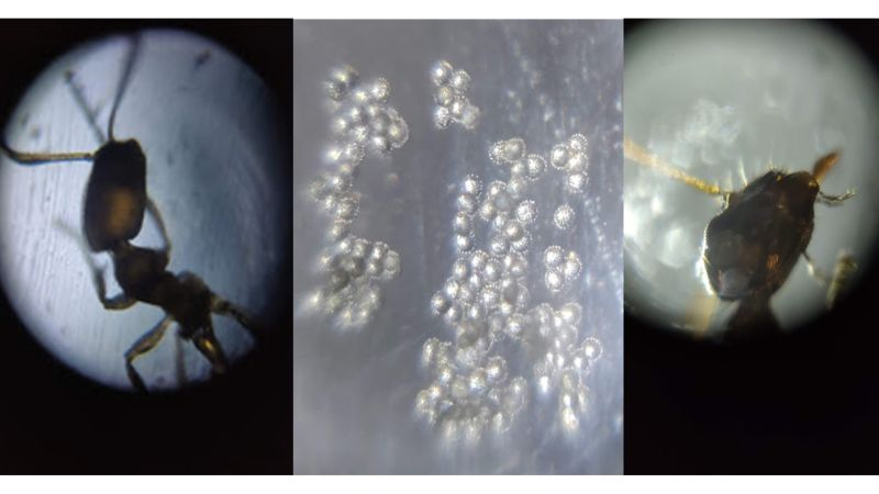 Samples of live ants, pollen and kelp observed by students using Foldscopes